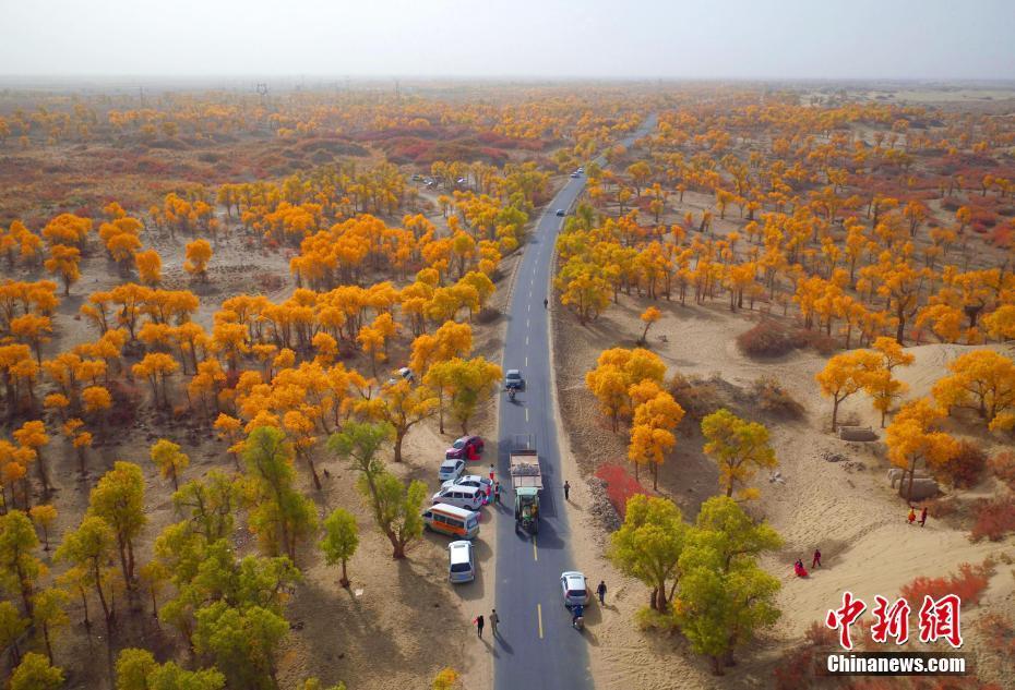 新疆塔里木河两岸的胡杨叶片由绿变黄