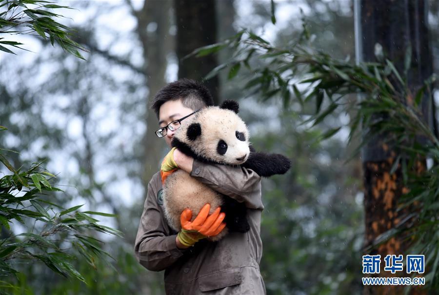 (社会)(11)大熊猫宝宝迎新年