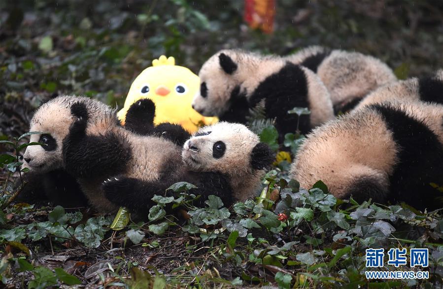 (社会)(6)大熊猫宝宝迎新年
