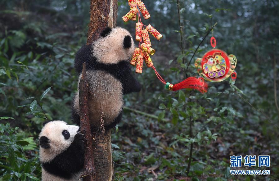 (社会)(4)大熊猫宝宝迎新年