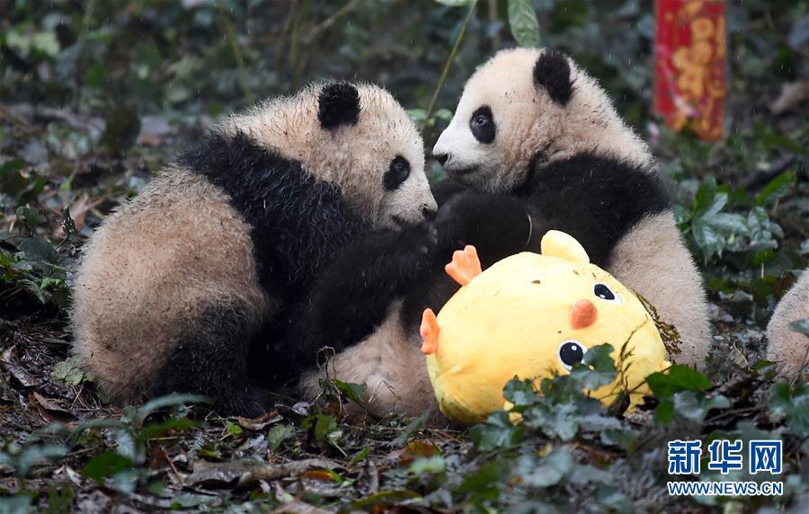 (社会)(14)大熊猫宝宝迎新年