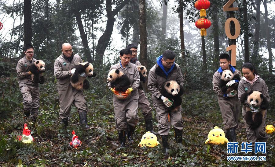 (社会)(15)大熊猫宝宝迎新年
