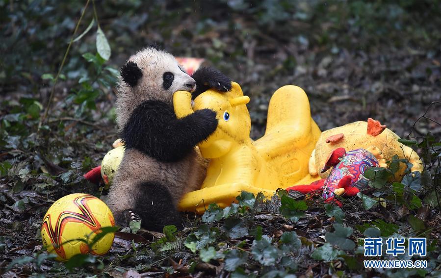 (社会)(10)大熊猫宝宝迎新年