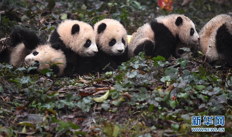 (社会)(17)大熊猫宝宝迎新年