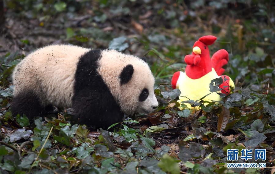 (社会)(3)大熊猫宝宝迎新年