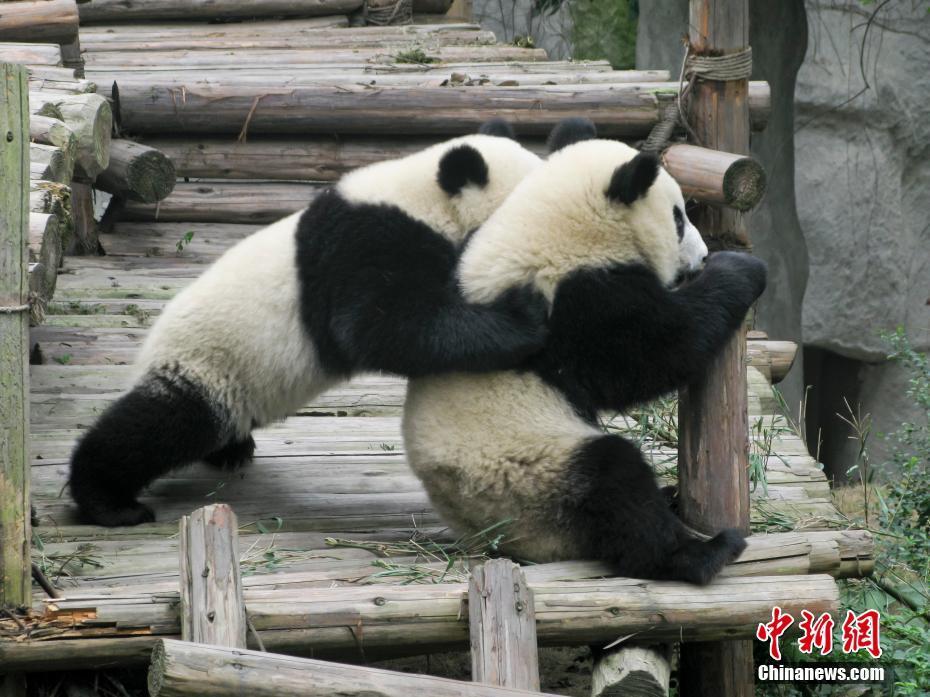 大熊猫繁育研究基地:国宝乐园(组图)_中国经济网——