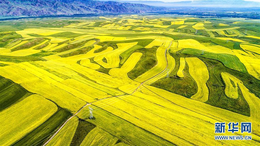 #(空中之眼)(1)新疆伊犁:特克斯县的油菜花海