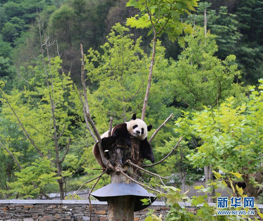 (九寨沟7级地震・图文互动)(1)九寨沟地震后卧龙大熊猫安然无恙