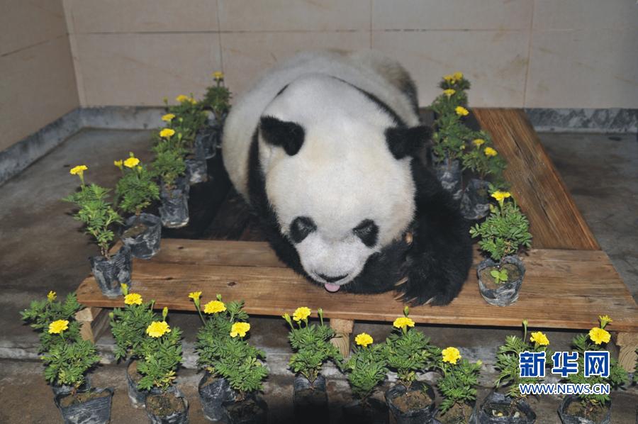 """北京亚运会吉祥物""""盼盼""""原型大熊猫""""巴斯""""因病离世"""
