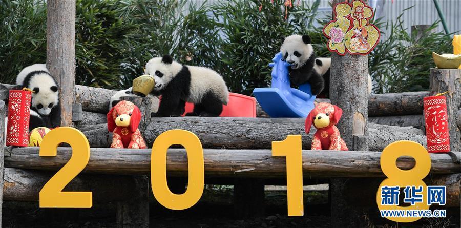 (新春走基层)(1)大熊猫宝宝贺新春