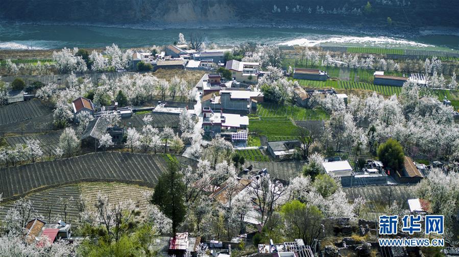 (春季美丽生态)(1)四川金川:梨花铺就乡村振兴路