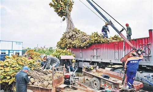 安徽滁州市乌衣镇振兴苗木产业 挖树一天挣500元