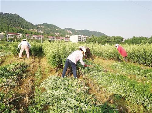 湖北省黄冈市蕲春县蕲州镇席盘石村种植的艾草开始收割.