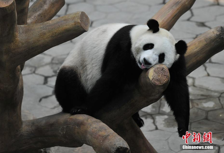 沈阳大熊猫住进空调房清凉度夏