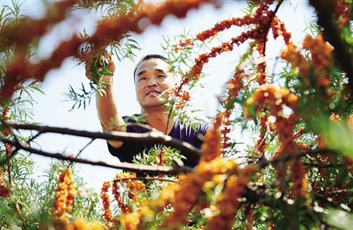 ▲杭锦旗独贵塔拉镇道图嘎查民工联队队长敖特更花(左)凭借多年在库布其沙漠种树的经验和技术