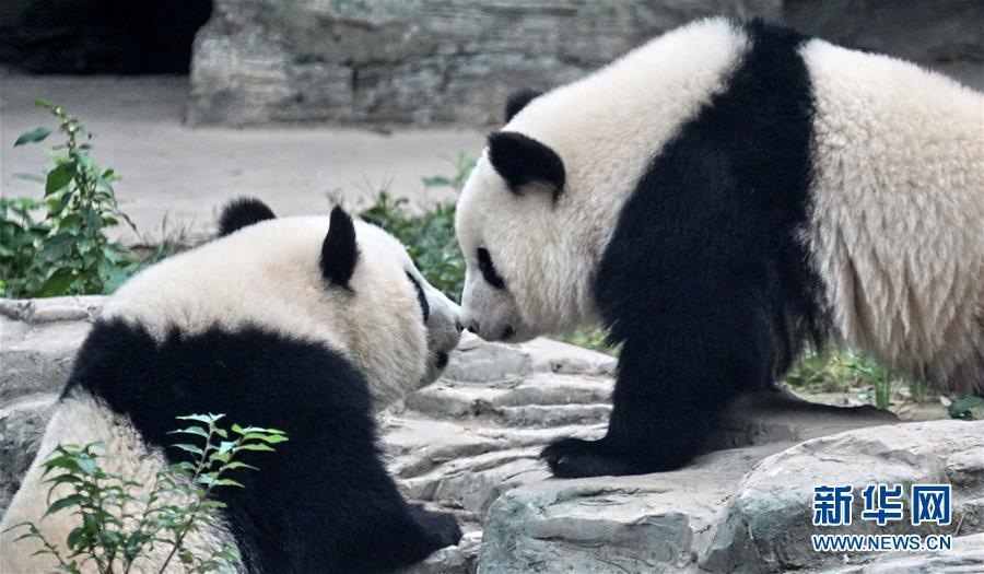 """双胞胎大熊猫""""萌宝""""和""""萌玉""""落户北京动物园"""
