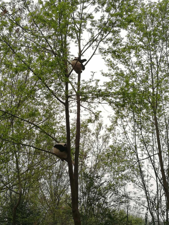2019大熊猫最新数据发布,全球圈养大熊猫达600只