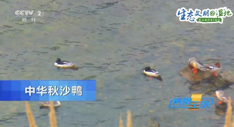 """【生态文明@湿地】优良生态环境让中华秋沙鸭""""爱""""上湖南沅陵"""