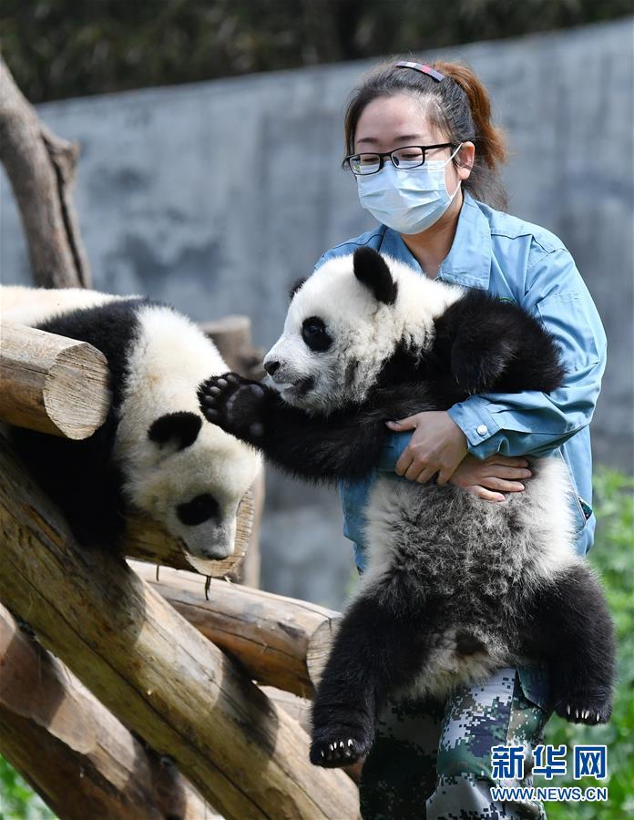 熊猫宝宝沐浴秦岭春光 健康成长憨态可掬