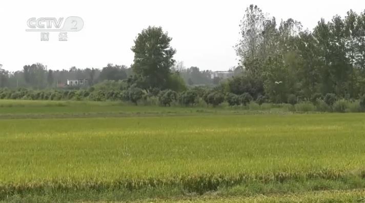 【乡村振兴看一线】河南信阳:再生稻生产成罗山县粮食生产一大亮点