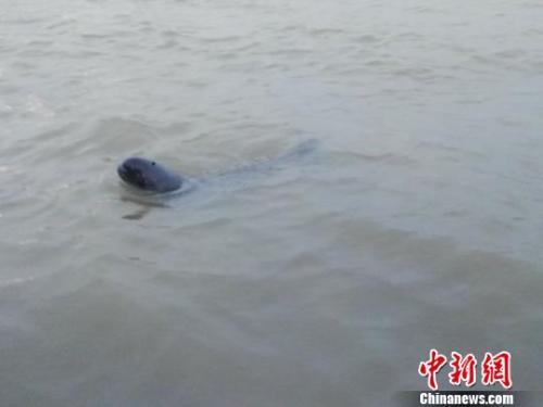 资料图:江豚幼崽。 镇江市渔政监督支队 摄
