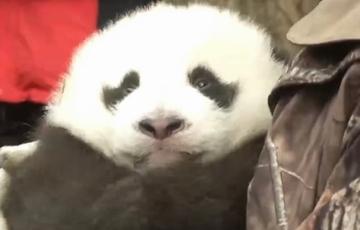 野外产仔大熊猫被成功回捕 系全球首例