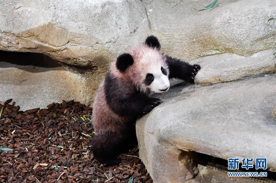 """(国际)(1)大熊猫宝宝""""圆梦""""正式与法国公众见面"""