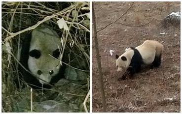 四川乐山一天内发现两只野生大熊猫