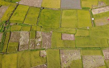 云南水稻成熟