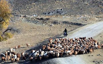新疆哈萨克族牧民秋季转场