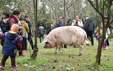 """汶川""""猪坚强""""迎震后第10个冬天"""