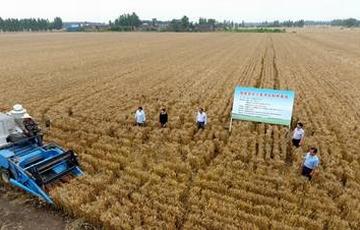 我国杂交小麦研发进入大田应用和产业化阶段