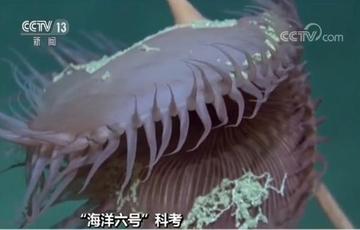 """""""海洋六号""""在深海发现神秘物种"""