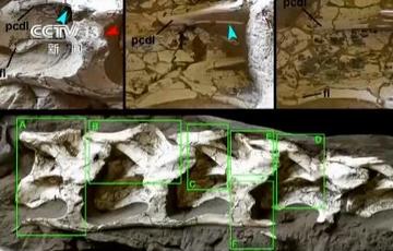 新疆哈密翼���游锶菏状伟l�F大型恐��化石