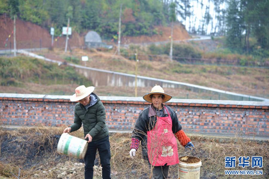 汪波(左)和社员一起向田间撒播肥料。在这个占地90亩的无花果基地背后,一条公路将长坪村与河图场镇直接连通。新华网邵以南 摄