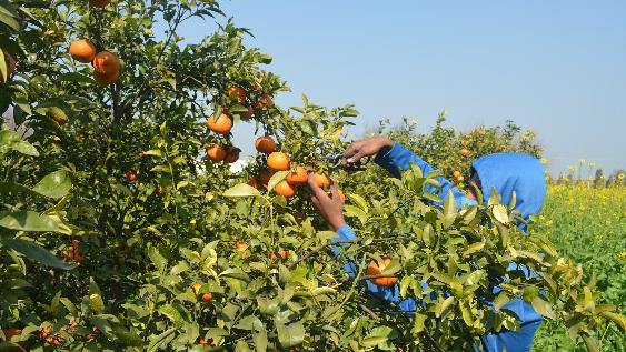 巴柑橘.jpg