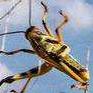 蝗虫.png