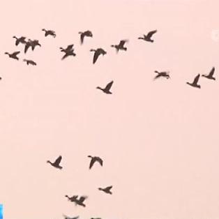 鄱阳湖候鸟越冬