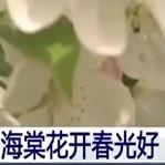 邯郸海棠花开