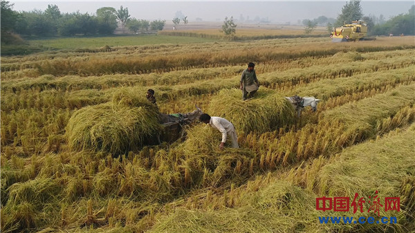 巴基斯坦新米收获季 这样做或可增加对华出口