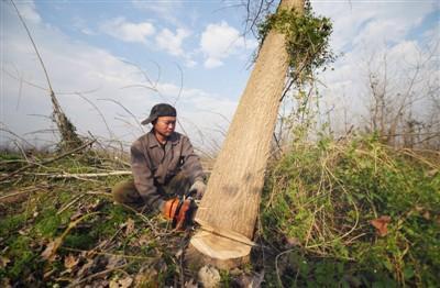 2017年11月27日,南洞庭湖自然保护区核心区内,一名工作人员在清理欧美黑杨。新华社记者 李 尕摄