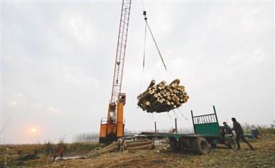2017年11月27日,南洞庭湖自然保护区核心区内,机械吊臂将被清理的欧美黑杨运上货车。新华社记者 李 尕摄