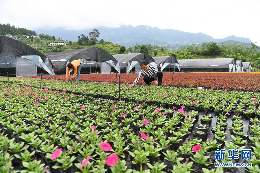 (经济)(1)重庆武隆:花卉产业助力脱贫攻坚