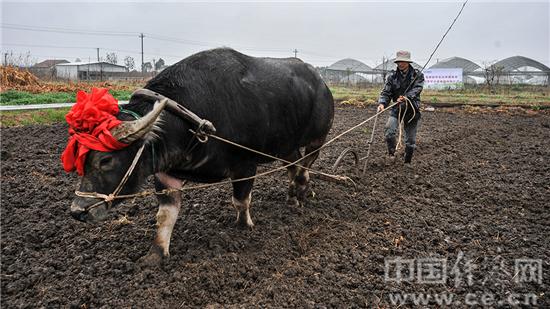 春耕文化节,一名工作人员在农场赶着牛犁地.中国经济网 丁继敏 摄