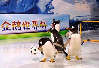 Penguins play football at Harbin Polarland