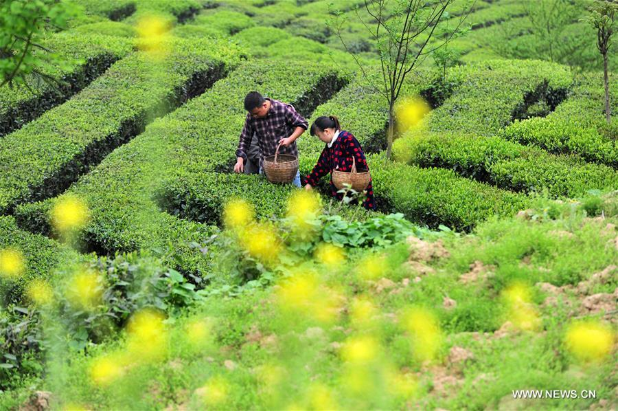 #CHINA-SPRING-TEA GARDEN-HARVEST (CN)