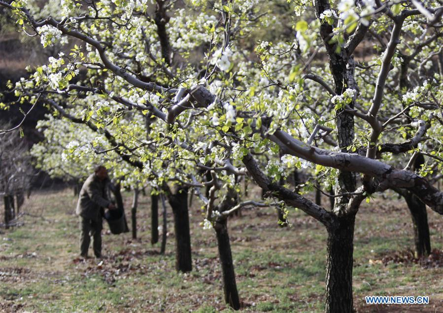 #CHINA-HEBEI-PEAR BLOSSOM (CN)