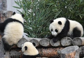 Captive pandas rise to 548 globally