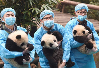 23 panda cubs send Chinese New Year greetings in SW China