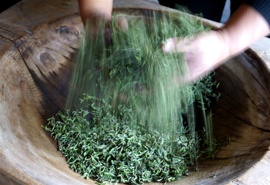 Black tea of Wuyishan enters harvest season